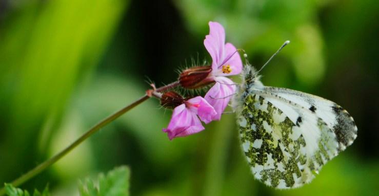 butterfly_rockroot